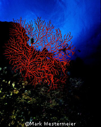 Red Reef - Image talen in Northern Fiji Islands with a Ni... by Mark Westermeier 